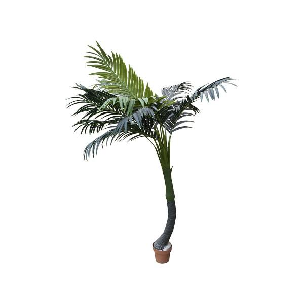 Палма Арека крива