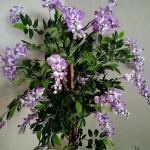 Вистерия с лилав цвят