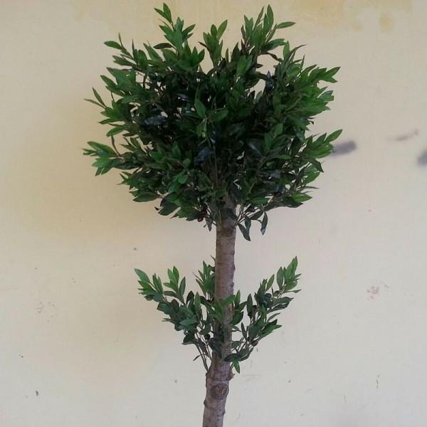 Маслиново дръвче