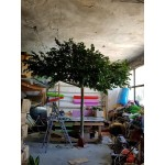 Голямо декоративно дръвче със зелена корона