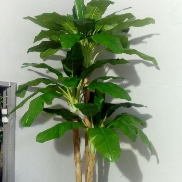 Бананова Палма с 3 стъбла