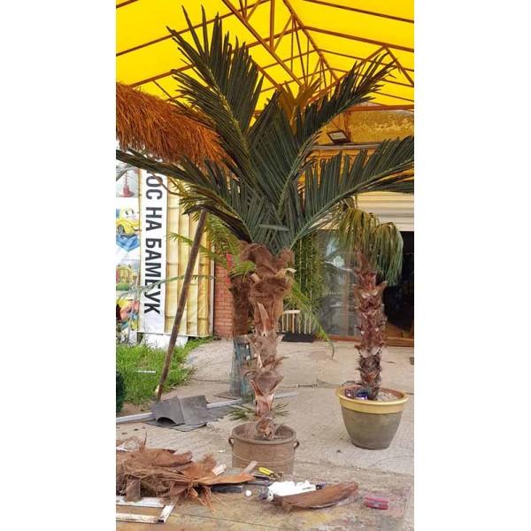 Декоративна палма 8 листа