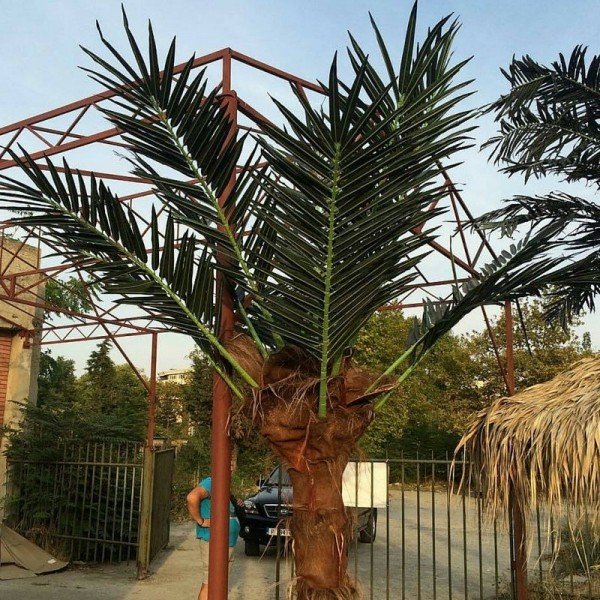 Кокосова палма 2м