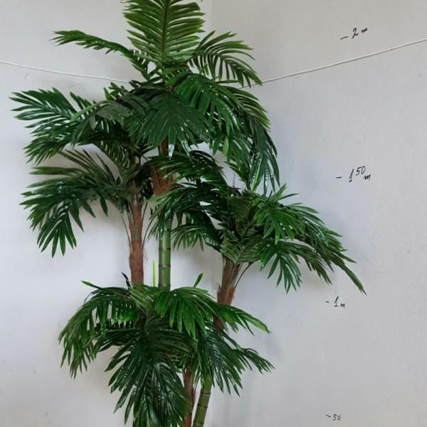 Палма Енана с 5 стъбла