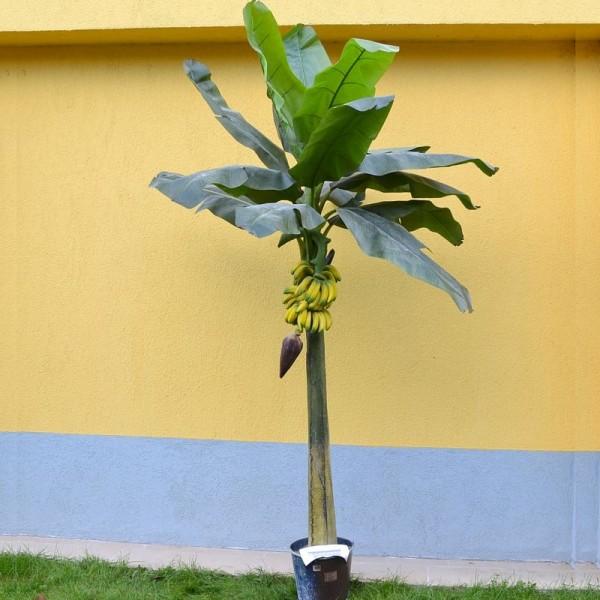 Бананова палма единична